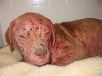 Justice - 1 week into treatment using petsbestrx products for catastrophic demo mange