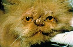 Cat Ringworm with ringworm sores on face