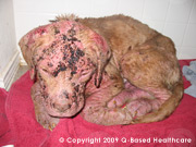 Puppy With Demodectic Mange infection on body